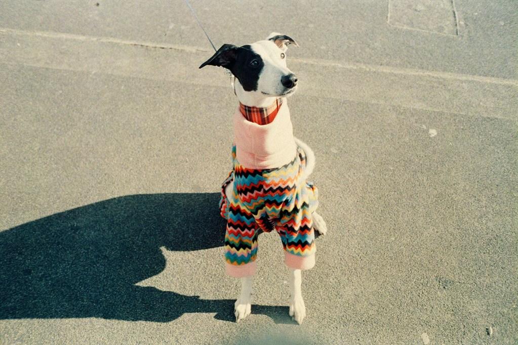 Whippet wearing a cute jumper